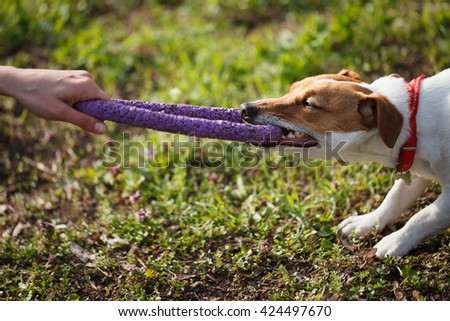 Owner playing with little Jack Russell puppy biting toy with teeth. Location is green park. Cute small domestic dog, good friend for a family and kids. Friendly and playful canine breed - stock photo