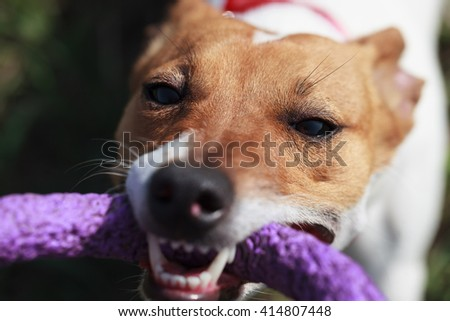 Owner playing with little Jack Russell puppy with puller toy in teeth. Location is outdoors. Cute small domestic dog, good friend for a family and kids. Friendly and playful canine breed