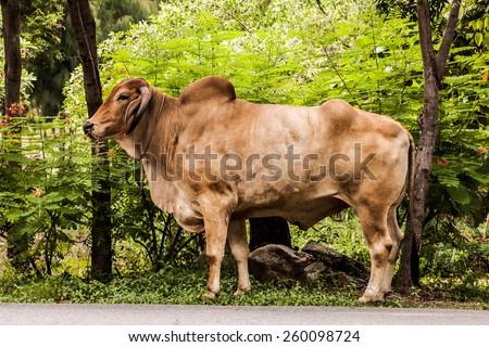 Ox ,Bull,Cow. - stock photo