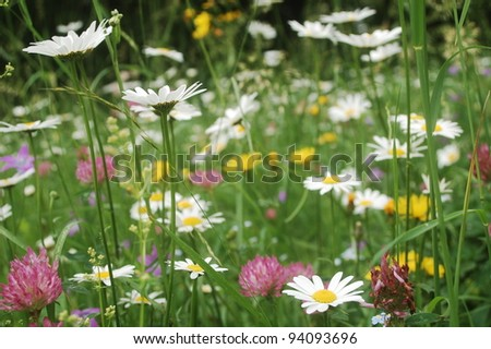 ox-eye daisies, harebell flowers, dandelions, clover flowers and lot of other plants are in bloom in this summer meadow in the Carpathian mountains, Romania.