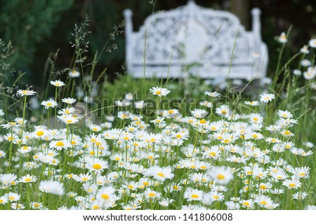Ox eye daisies in a garden and a white park bench in the background