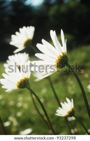 Ox-eye daisy meadow in the Carpathian mountains, Romania