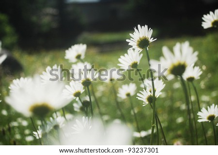 Ox-eye daisy meadow in the Carpathian mountains, Romania - stock photo