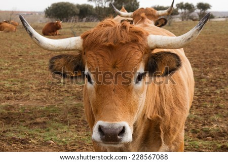 Ox head with horns. - stock photo