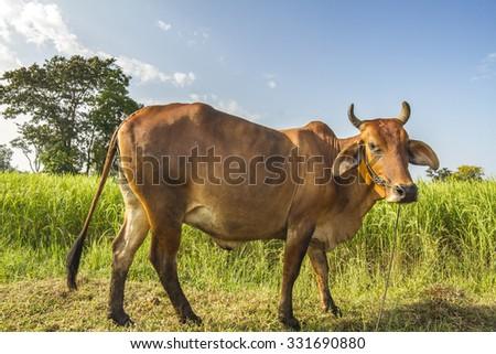 Ox in farm - stock photo
