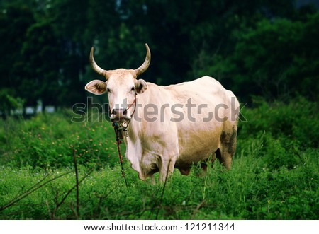 ox in nature - stock photo