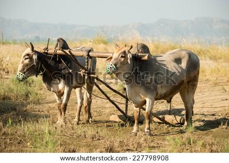 ox team in Myanmar - stock photo