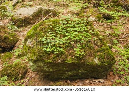 Oxalis Acetosella L. (Wood Sorrel, Common Wood Sorrel) on a Rock  - stock photo