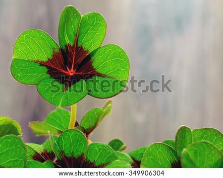 Oxalis tetraphylla - stock photo