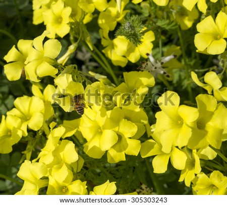Oxalis  weed  oxalidaceae or wood sorrel soursob  growing in  the street verge and flowering in late  winter  with bright yellow single flowers attracts  honey bees to gather sweet pollen.