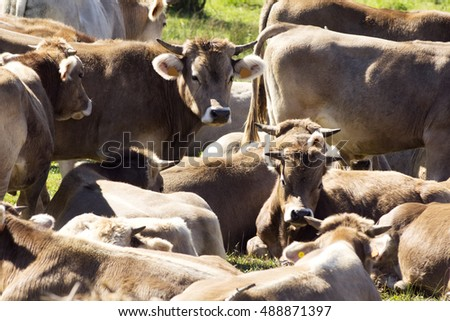 oxen and cows grazing in Leon mountains ,  Spain