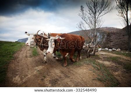 Oxen cart in Romanian mountains - stock photo