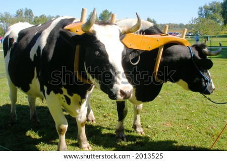 Oxen team that is yoked and ready to work. - stock photo