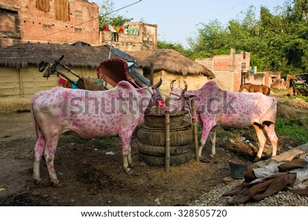 """Oxes decorated for the religious Diwali festival in Raxaul, Bihar state, India. """"Diwali"""", the Hindu festival of lights, illuminates the darkness of the New Year's moon. - stock photo"""