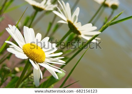 Oxeye daisies in close up against green background; White wild flowers; Leucanthemum vulgare