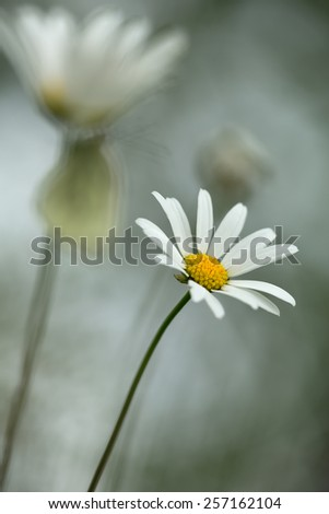 Oxeye daisy, Leucanthemum vulgare, butterfly, Pieris napi in the background - stock photo