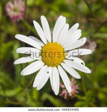 Oxeye daisy, Leucanthemum vulgare, flower macro with bokeh background, selective focus, shallow DOF - stock photo