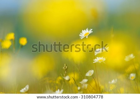 Oxeye daisy, Leucanthemum vulgare, selective focus, with diffused background of Smooth Hawk's beard, crepis capillaris, spring buttercups, clover and meadow grass, The Cotswolds, Gloucestershire, U K - stock photo