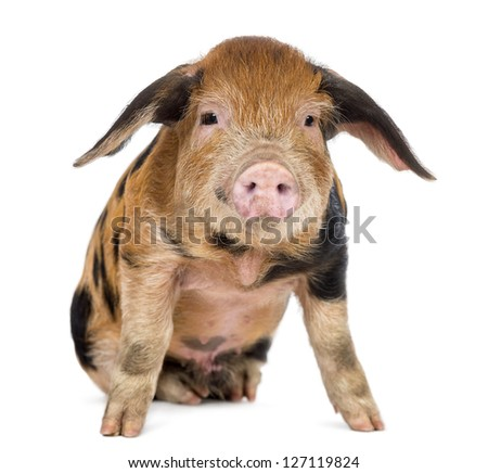 Oxford Sandy and Black piglet, 9 weeks old, sitting against white background - stock photo