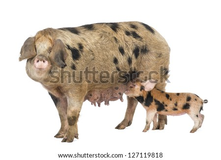 Oxford Sandy and Black piglet, 9 weeks old, suckling sow against white background - stock photo