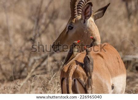 Oxpeckers Sitting on Impala - stock photo