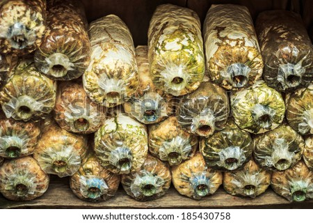 Oyster mushroom cultivation in soil and sawdust in plastic bag - stock photo