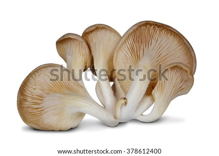 Oyster mushroom isolated on white background - stock photo