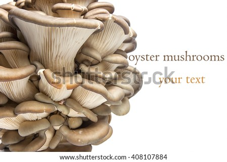 Oyster mushrooms on a white background with copy space