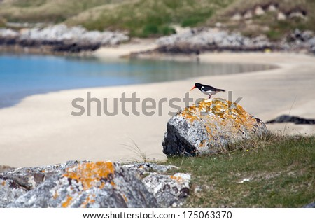 Oystercatcher on a scottish beach . Luskentyre, Isle of Harris, Outer Hebrides, Scotland.  - stock photo