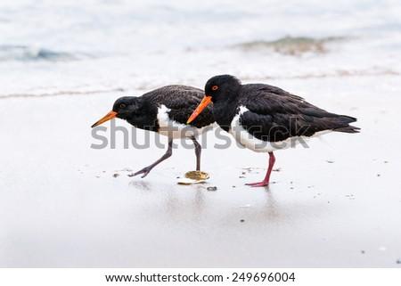 Oystercatcher on the beach - stock photo