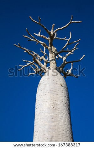 Pachypodium (Bottle Tree) - Madagascar