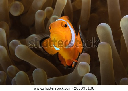 Pacific Clownfish hides in the protective tentacles of its home anemone - stock photo