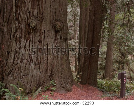Pacific coast Redwood Tail