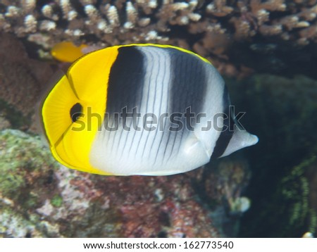 Pacific double-saddle butterflyfish in Bohol sea, Phlippines Islands - stock photo