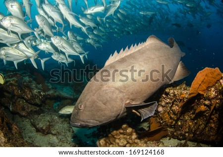 pacific goliath grouper  pacific grouper coral hind