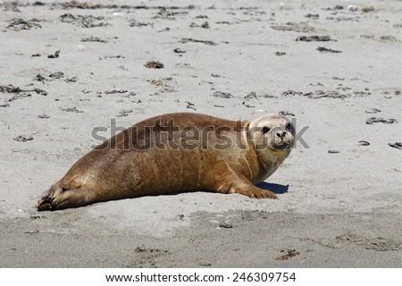 Pacific Harbor Seal, Phoca vitulina, on sandy beach of Smith Island, in the San Juan Islands in the Strait of Juan de Fuca, between British Columbia and Washington state - stock photo