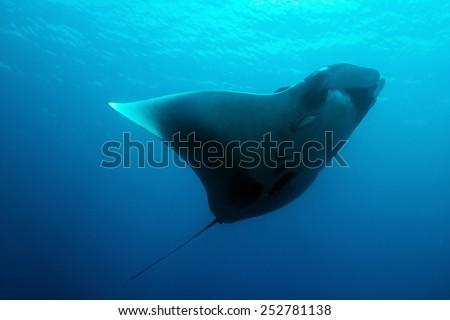 Pacific Manta Ray (Manta Birostris), Cano Island, Costa Rica - stock photo