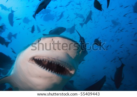 Pacific ocean. Big toothy grin of very dangerous bull-shark shooted at 30 m depth. Very close. - stock photo
