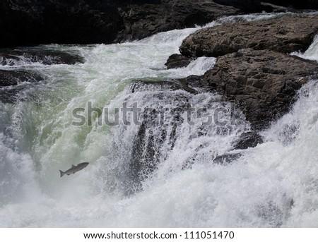 Pacific Salmon leaps the falls on the Similkameen River in northern Washington, near the British Columbia / Canada border; salmon fishing / fly fishing - stock photo