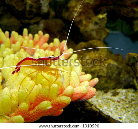 Pacific Striped Cleaner Shrimp - stock photo