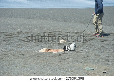 PACIFICA, CA - April 18: A curious dog sniffs at pieces of blubber cut from a 50-foot Sperm Whale at Mori  Point in Sharp Park State Beach in Pacifica, CA on April 18, 2015 - stock photo
