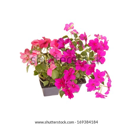 Pack containing two seedlings of impatiens plants (Impatiens wallerana) flowering in pink and purple ready for transplanting into a home garden isolated against a white background