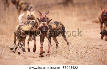 Pack of African Wild Dog (Lycaon pictus), highly endangered species of Africa