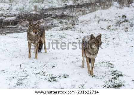 Pack of coyotes in winter - stock photo