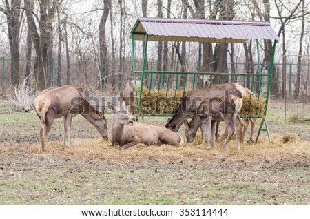 Pack of deer eating hay from the shed