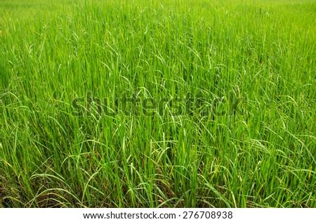 Paddy field - stock photo