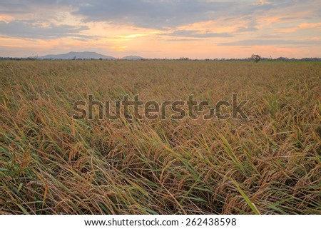 paddy field during colorful sunset moment at Sabah, Borneo, Malaysia.  Image has grain or blurry or noise and soft focus when view at full resolution. (Shallow DOF, slight motion blur) - stock photo