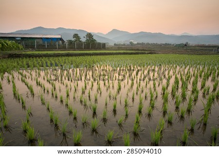 Paddy field in countryside of Thailand - stock photo