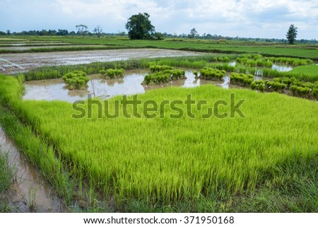 Paddy field in thailand. Soft focus. Composition of nature.