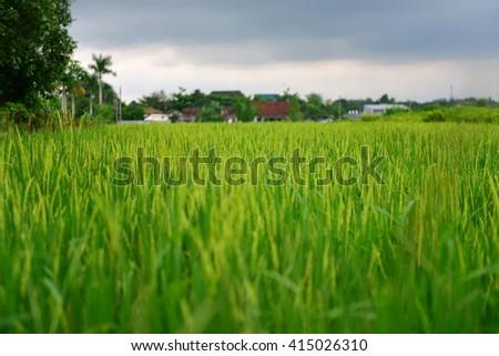 Paddy field in Yogyakarta, Indonesia - stock photo